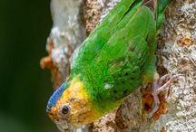 """Micropsitta / Appartengono al genere micropsitta i più piccoli pappagallini esistenti al mondo, detti appunto """"pappagallini pigmei"""" a causa della loro taglia ridottissima che non supera mai i dieci centimetri ed i quindici grammi di peso."""