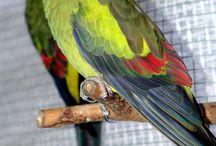 """Polytelis / Appartengono al genere polytelis tre specie di pappagalli australiani di taglia media: il polytelis anthopeplus, il polytelis swainsonii ed il magnifico polytelis alexandrae. Il nome """"polytelis"""" deriva dal greco e significa """"sontuoso"""": tale aggettivazione è particolarmente appropriata, dato che questo genere di pappagalli appare molto elegante, agile e dotato di una coda molto lunga."""
