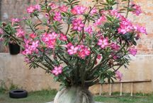 cantiknya bunga komboja dan bonggol