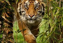Sumatran tigers / The smallest of the tiger sub-species and only 400 individuals remaining