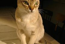 Raças de gatos / Muitas raças de gatos, Pequenas, gigantes, peladas, e de vários tipos. http://dicasfelinas.blogspot.com.br