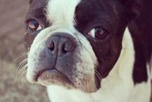 Boston terriers ♥ / Ruby* #bostonTerrier