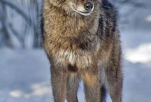 wolvesssss