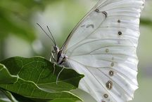 White Butterflys
