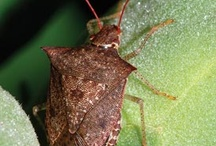 Stinkin' Stink Bugs / by DC Mosquito Squad