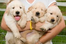 Canine Assistants Puppies