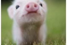 Mini Pigs!!