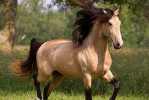 Luv me a Buckskin / True buckskins don't have dorsal stripes. / by Sunshine
