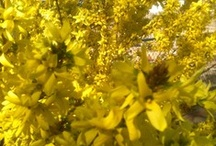 Flowers and Plants / Bright Yellow Forsythia Flowers in bloom.