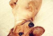 PIPIN / my 9 years old miniature dachshund!
