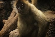 Spider Monkeys / Como Zoo's Spider Monkeys