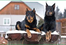 Animale Beauceron