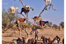 Goats / by Judy Aldridge