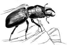 Scarabaeidae illustrations