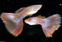 Guppies / by Mary W