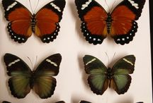 My Butterfly Collection / butterflys that I pinned