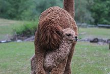alpacca's