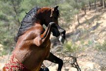 Rearing - Arabians