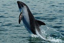 Acrobacias de delfín