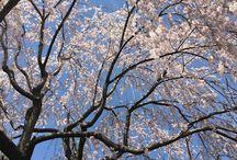 20160409-10 Cherryblossom in Nagano/Niigata