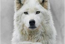 Loup / Mignon