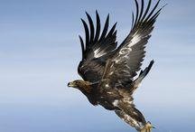 eagle-kartal