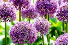 Allium / All about Allium. If you want to add pins to this board please add a note on our Facebook time line http://www.facebook.com/ShootGardening with the name of the board(s) you want to pin to. No ads please. / by Shoot Gardening