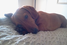 All things doxie / by Abby Christolear