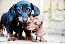 Doxie Obsession / I am a dachshund freak! I have a little doxie furbaby named Sophie and I just love these little dogs to death! / by Laura Birney