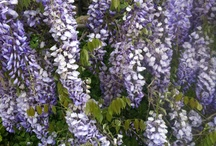 Wisteria & Other Spring Flowers / Around our house and the neighborhood things that are beautiful and make us happy.