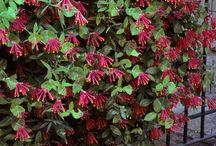 flora lonicera