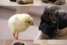 What the pug!