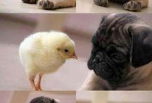 Μικρά Pug