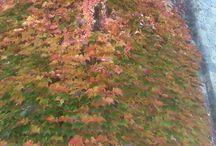 Autumn colours / Beautiful striking bold foliage