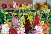 сад цветы гладиолус