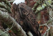 American Bald Eagles by James Purkey