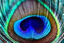 Color me peacock / by Misty Sanders