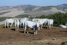Farm animals of Tuscany / Tuscan food relies on mainly locally produce. / by To-Tuscany