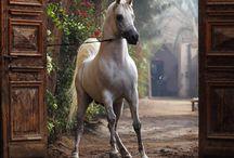 Horses/Arabian