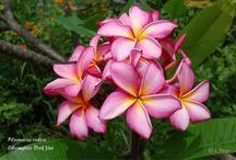 Exotic Plants, exotische Pflanzen / Exotische Orchideen und Plumerias, Trees, Fragrance, Flowers, Outdoor,