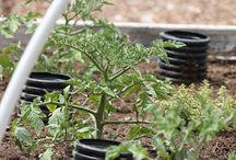 Puutarha, Tomaatti