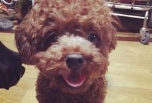 Lovely Brown Poodle / Brown Poodle