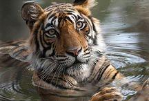 Katzen groß / Alle Raubkatzen wie Tiger, Löwen etc.