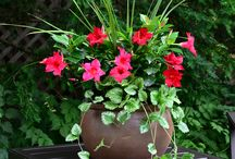 Rio Dipladenias Lifestyle / Low maintenance Rio dipladenias settling into their container gardens