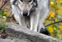 Bleiz - wolf - loup