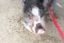 Love pigs / Pot bellied pig