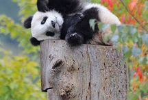 Panda, oui c'est moi!