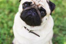 Cute Pugs)