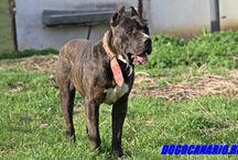 Dogo Canario for Sale