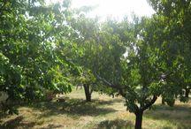 Gyümölcsöskertek